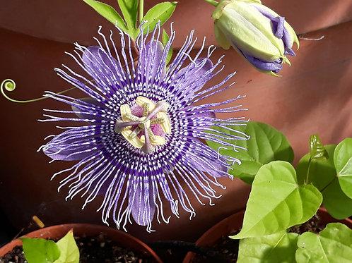 Passiflora incarnata ( pot 1ou 2 L)