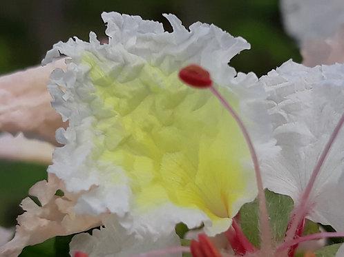 Delonix decaryii / flamboyant blanc ( pot 2L )