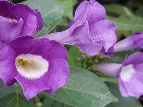 Mansoa alliacea / liane d'ail ( pot 1L )