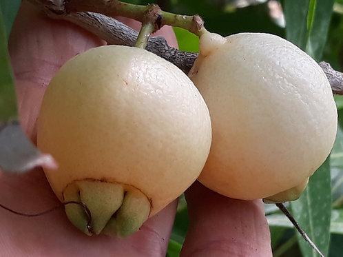 Syzygium jambos / Poma Rosa / Jambosier ( pot 0,5L ou 1L )