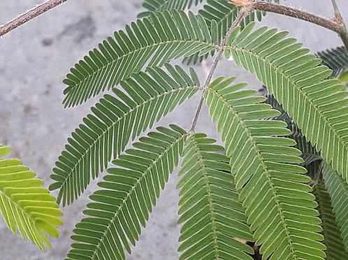Calliandra tweedii ( pot 0,5L / 1L )