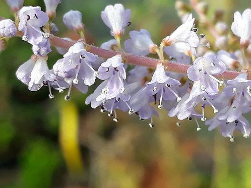Tetradenia riparia / faux Patchouli  pot 1L