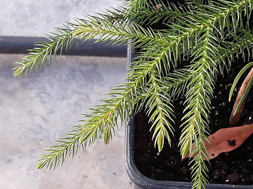 Araucaria columnaris ( pot 2L )
