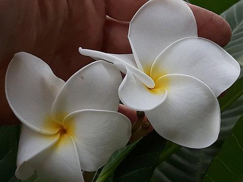 Plumeria 'Samoan Fluff' ( pot 1 ou 2L )