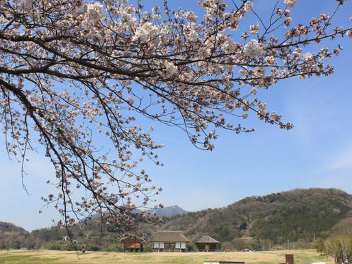 桜がもうすぐ満開です。