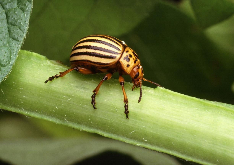 colorado-potato-beetle-1803237_1920.jpg
