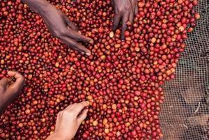 蒲隆地咖啡豆優質的新指標-重視品質與小農收益的長程咖啡計畫