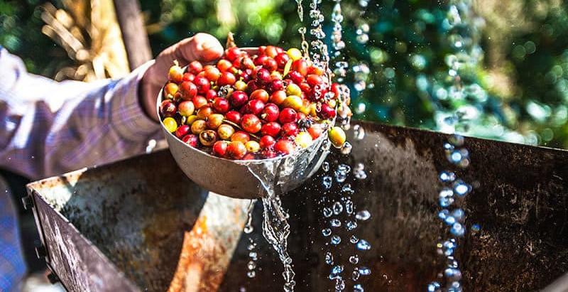 咖啡豆也要乾濕分離?!日曬、水洗帶領咖啡進入不同境界