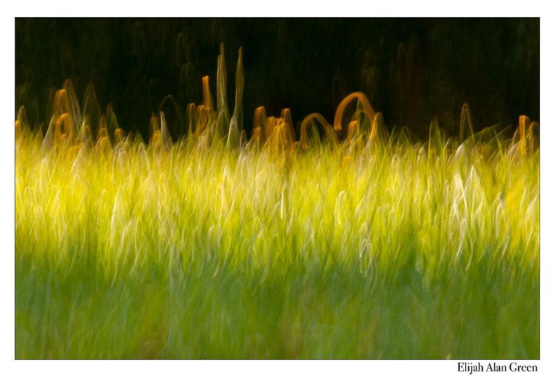 """""""Dandelion Field"""""""