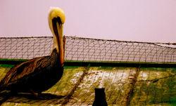 royal brown pelican 1