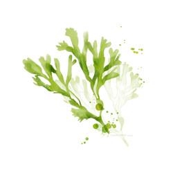 illustration d'algues