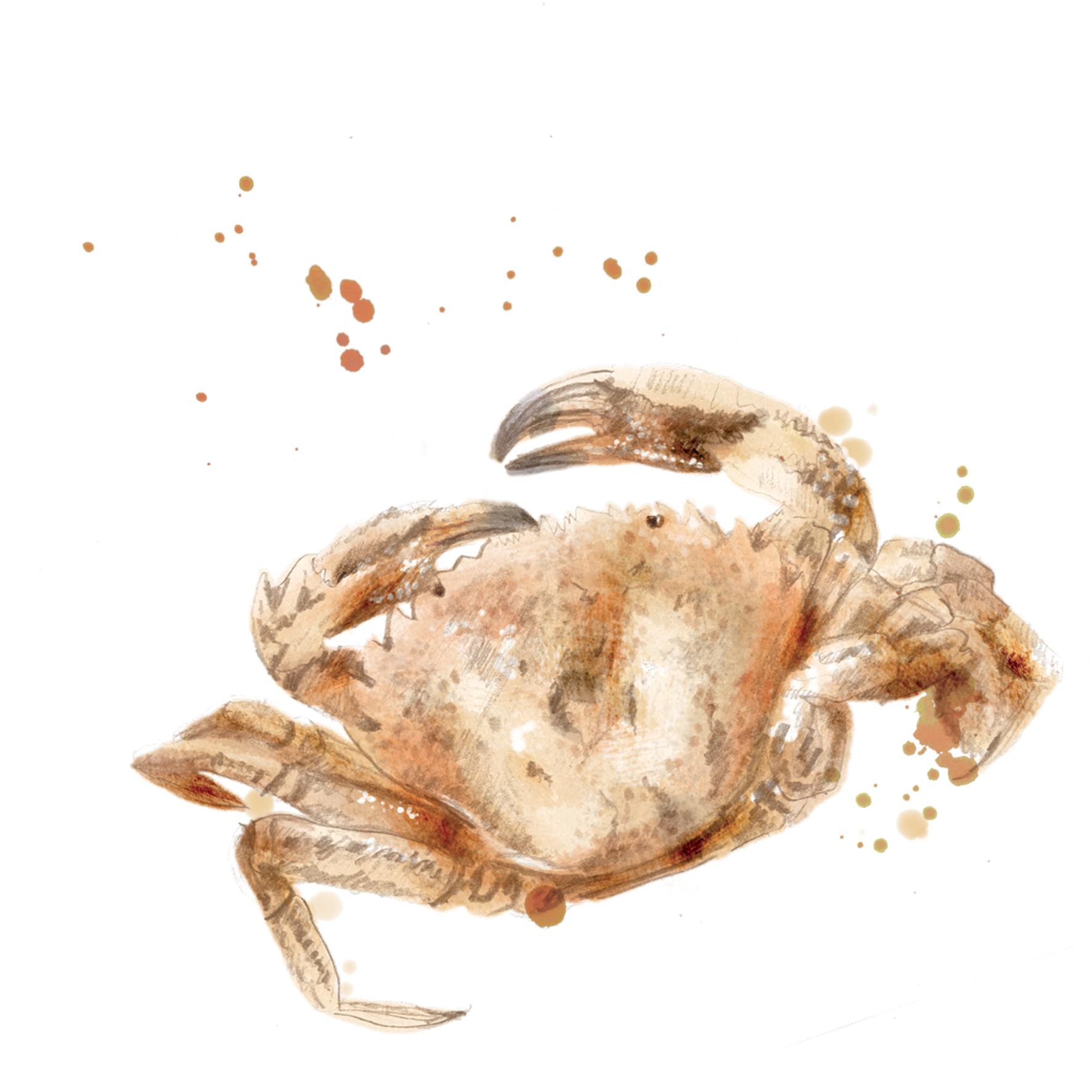 illustration crabe