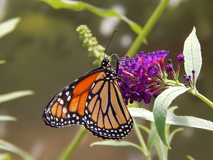 Close-up of a butterfly feeding from a purple flower