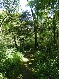 Lush green hiking trail with spicebush shrubs
