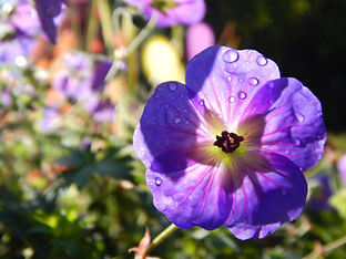 purple flower at Beech Creek Gardens