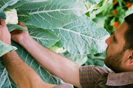 Picking Cauliflower 2