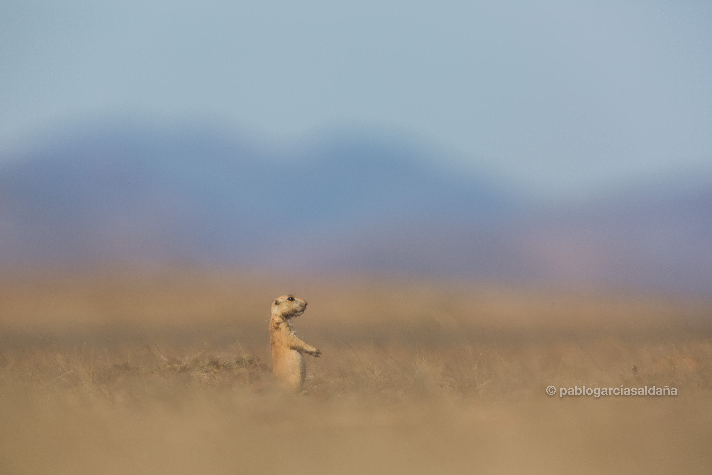 Perrito de la pradera (Cynomys Mexicanus