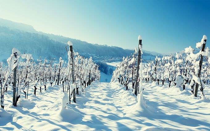 Frozen vineyards.jpg