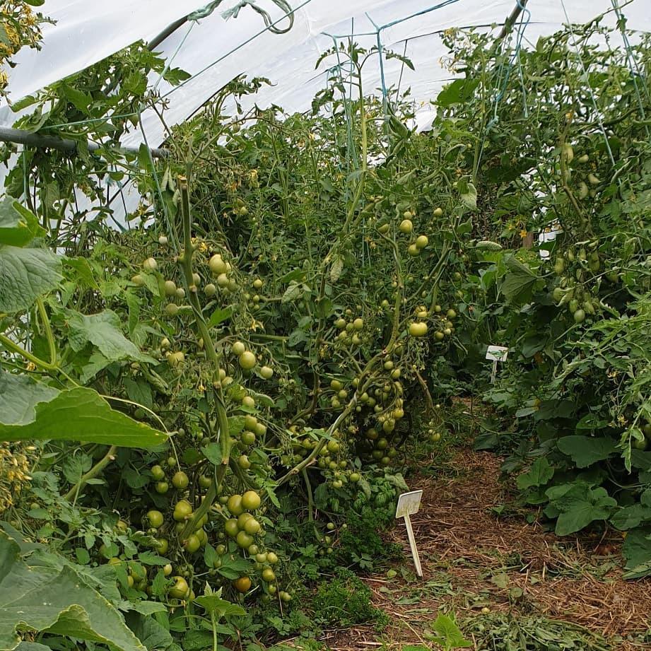 T & T Peihana Farm Toms.jpg