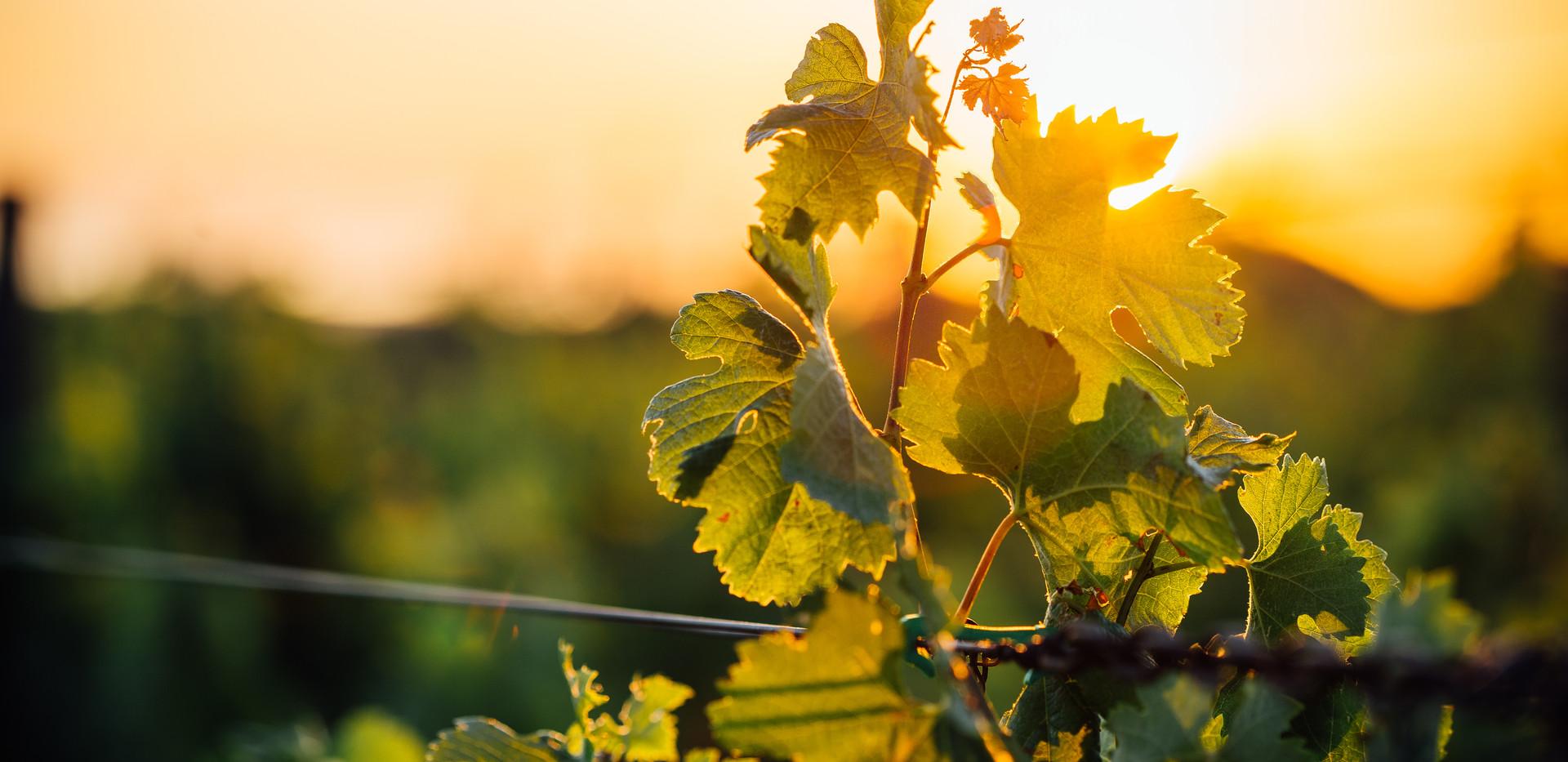 T & T Kairau vineyard standard 2.jpg