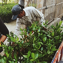 a man is planting mangrove trees