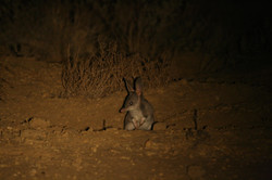 Greater Bilby emerging from burrow