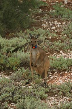 Western grey kangaroo research