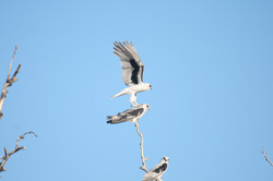 Letter-winged Kite roost