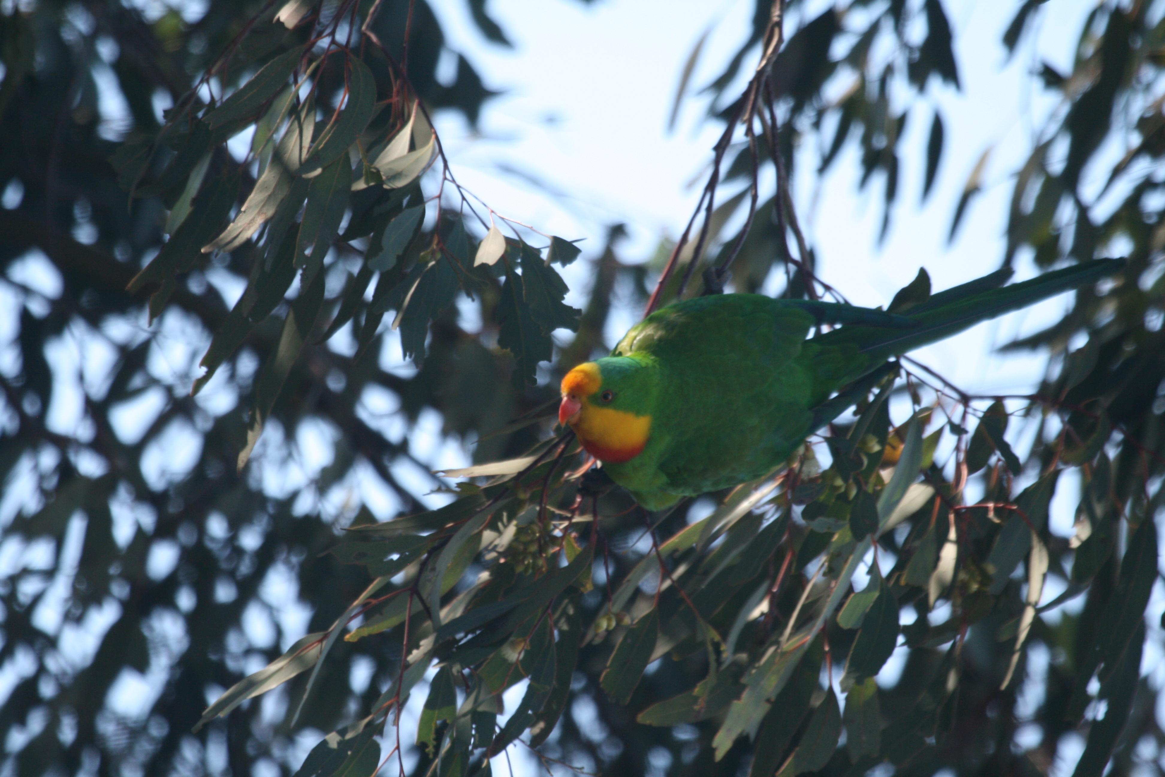 Superb Parrot2
