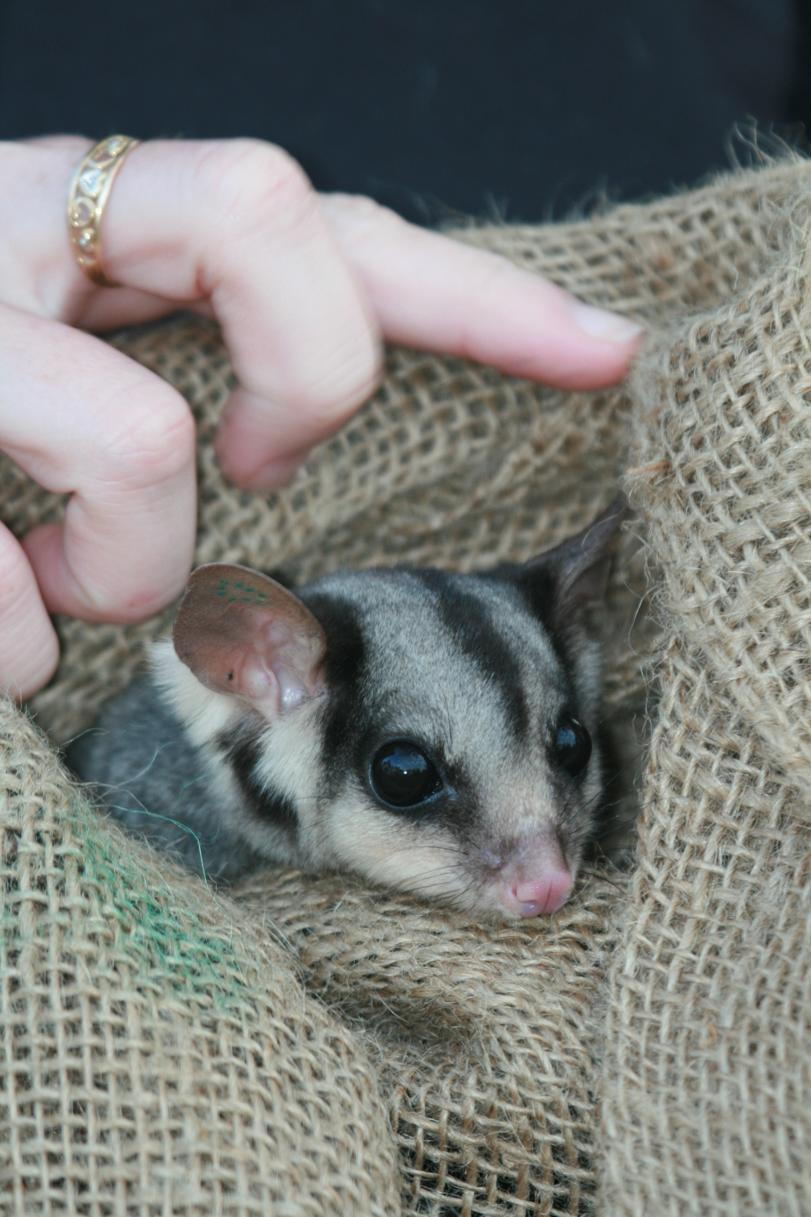 Squirrel glider targeted survey