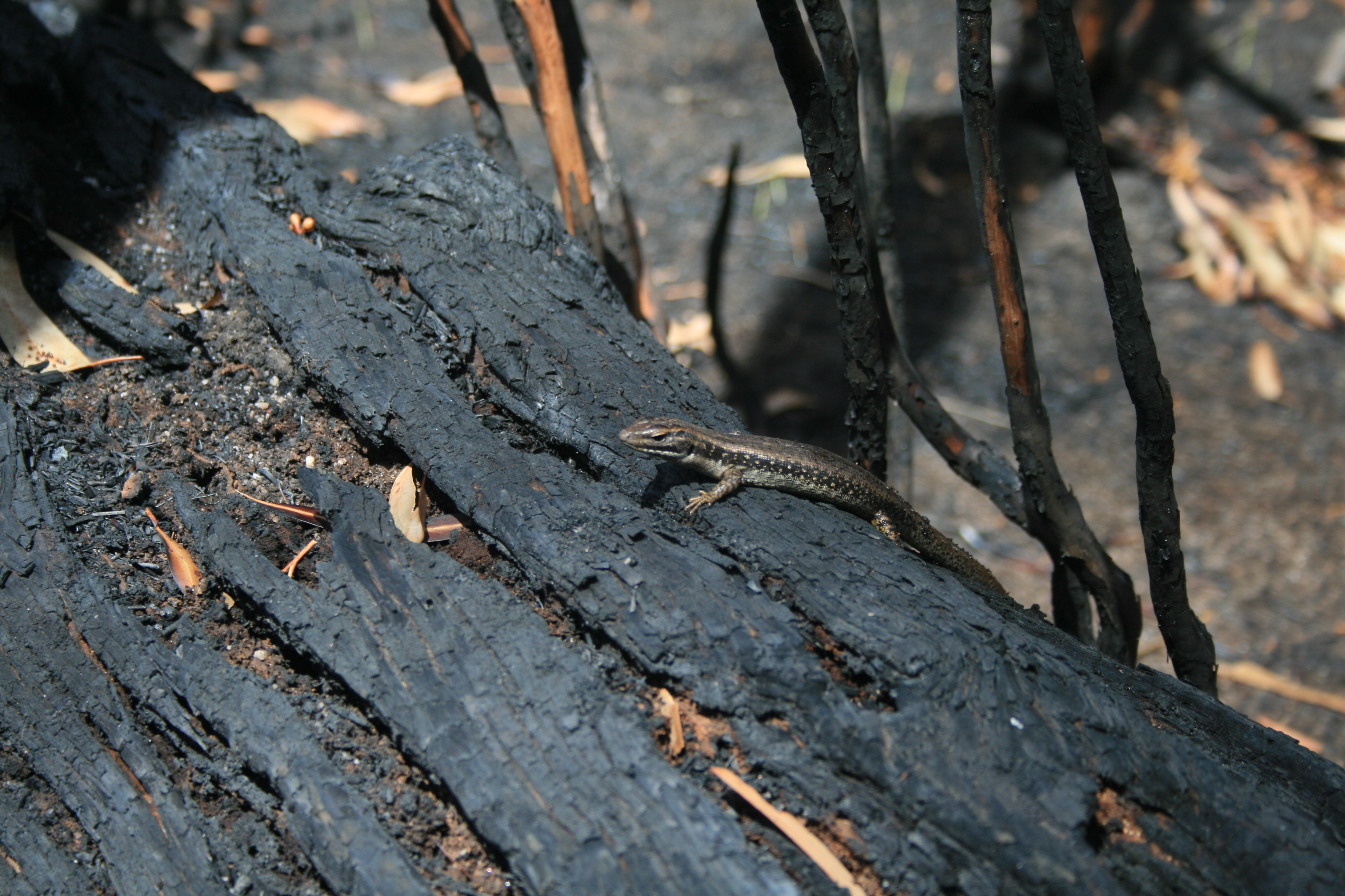Yellow-bellied water skink