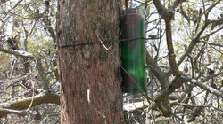 Pygmy possum nest