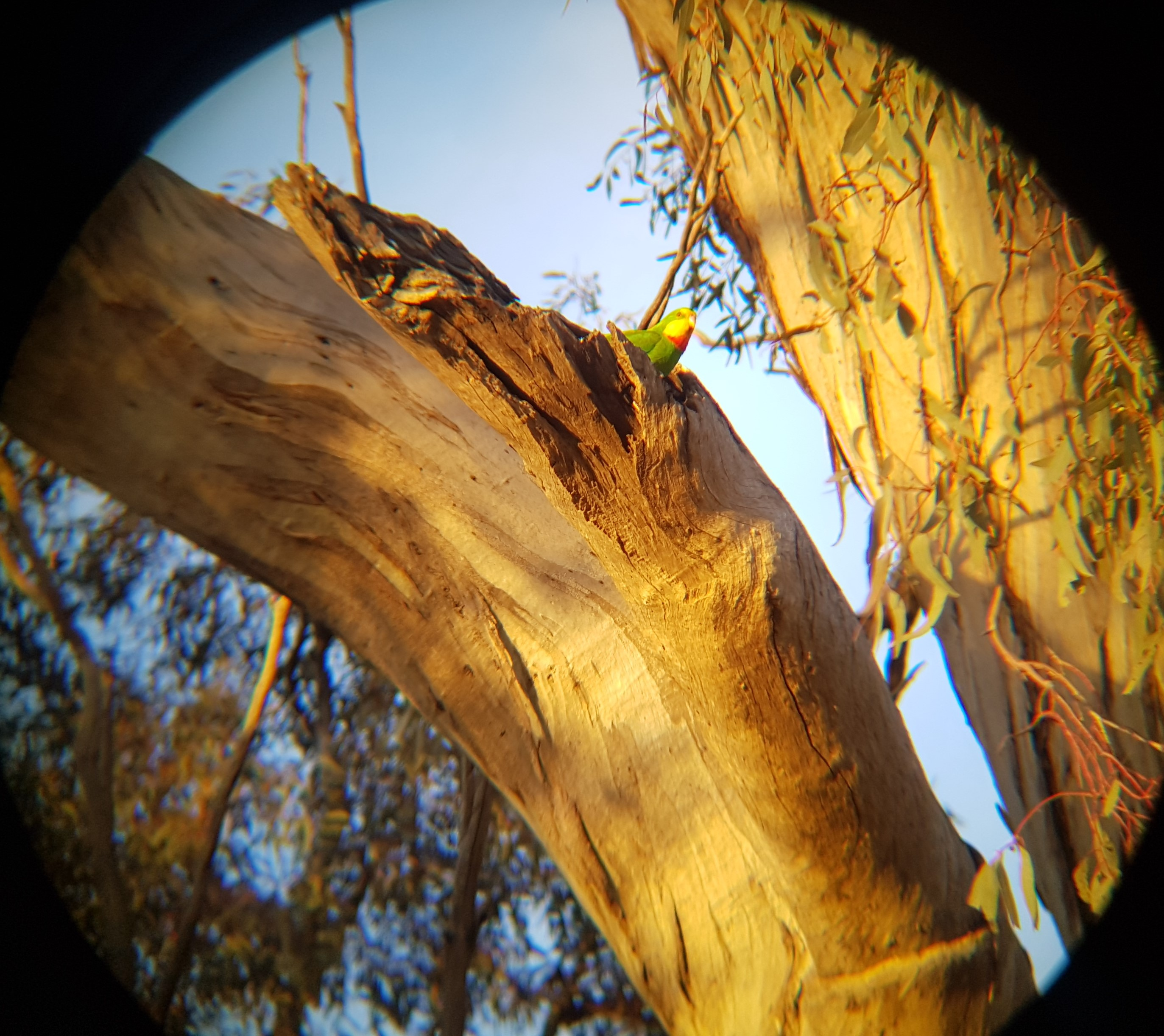 Superb Parrot nesting in Red Gum paddock tree