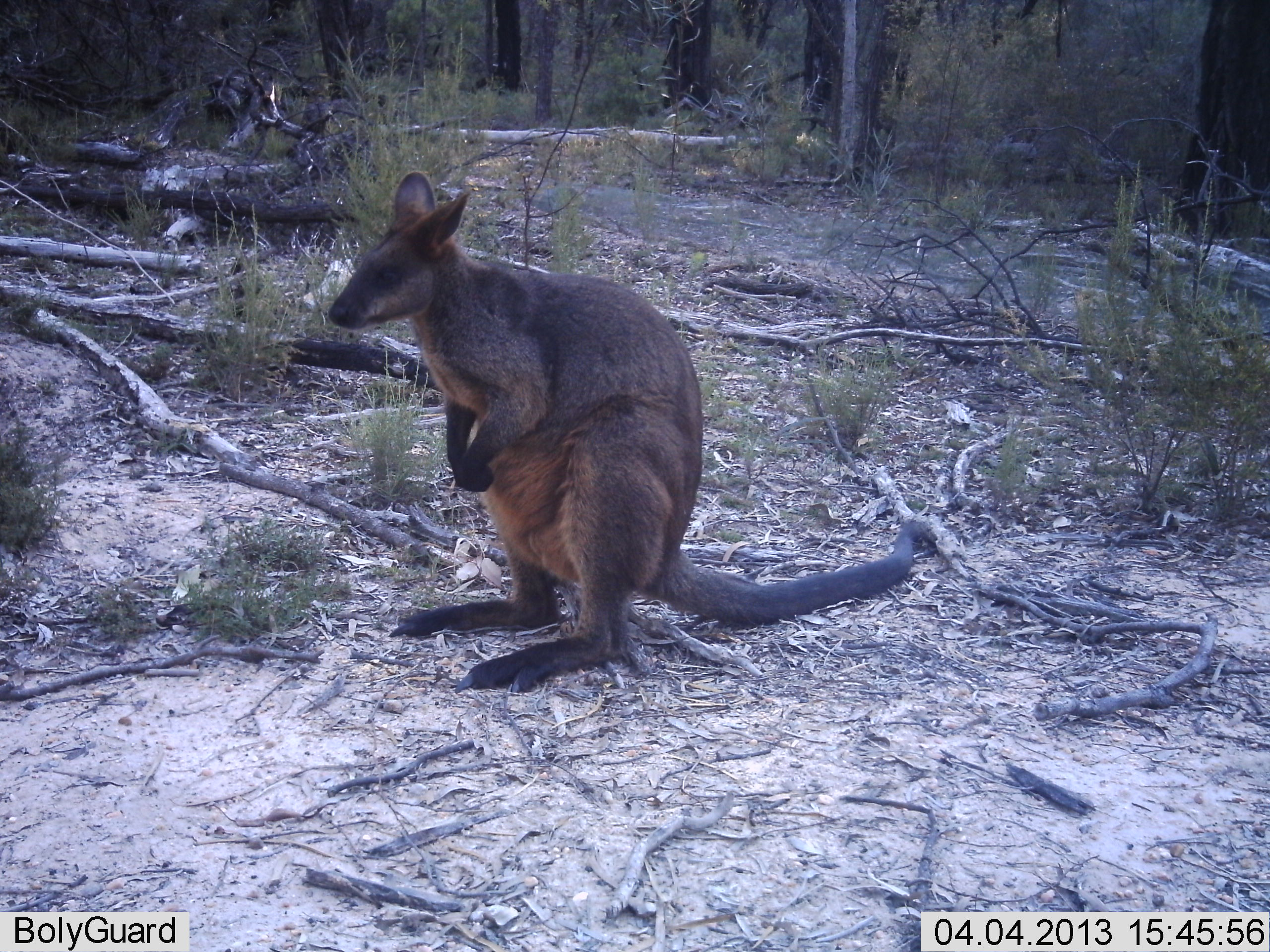 Swamp wallaby4