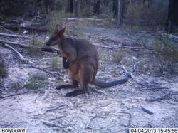 Swamp wallaby4