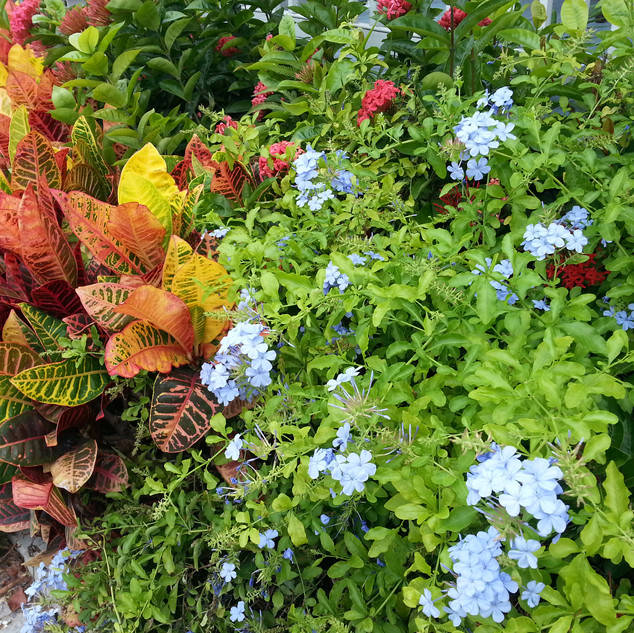 Plumbago and croton color