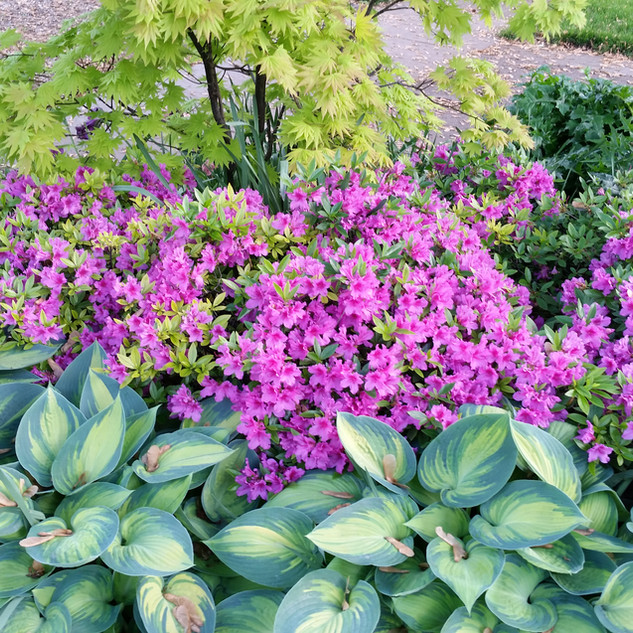 June Hosta and azaleas