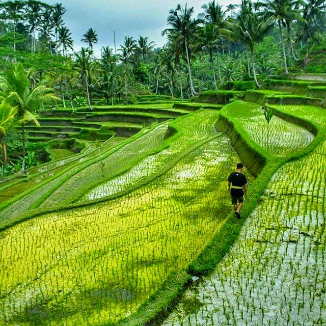 Ceking rice terraces