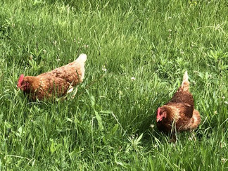 Isa Brown chickens