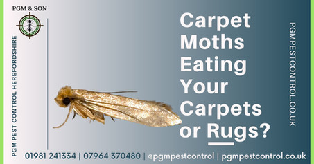 Carpet Moths Eating your Carpets or Rugs