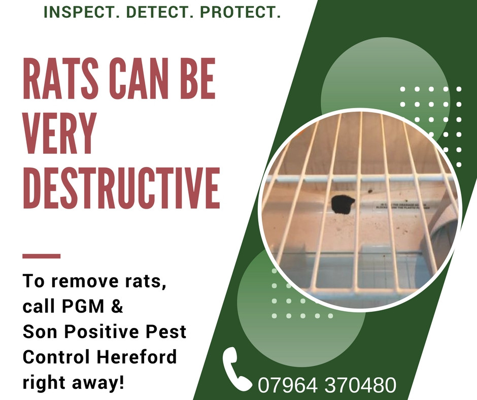 10 REASONS TO GET RID OF RAT PROBLEMS IN HEREFORDSHIRE