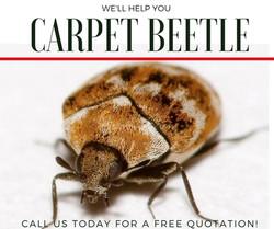 Carpet Beetle Control