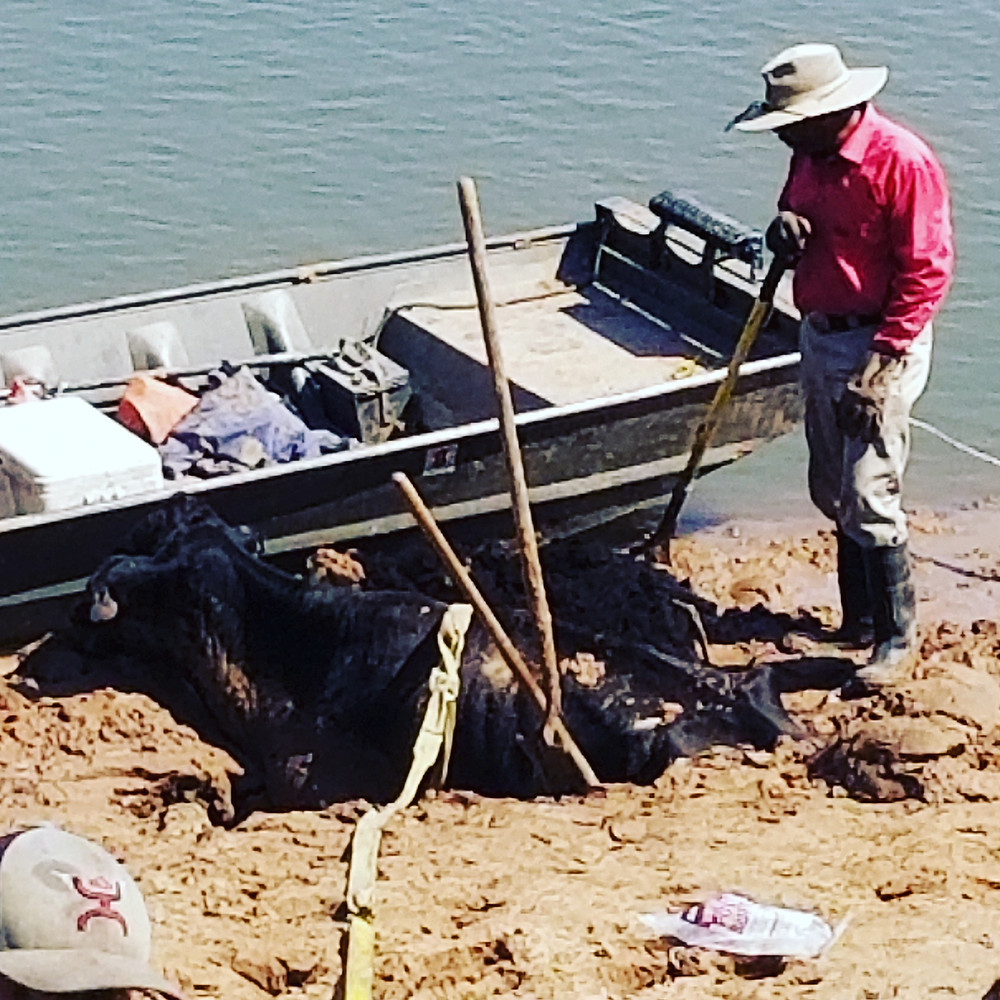 Stuck cow on Red River