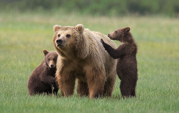 Grizzly Bear-2013-0pic-03 (1).jpg