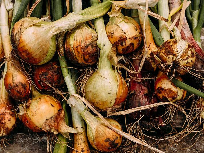 yellow onion.jpg