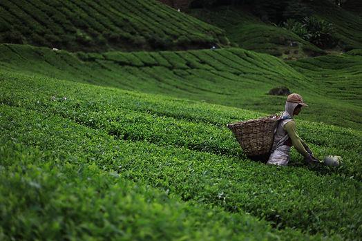 green-tea-1508778100jsN.jpg