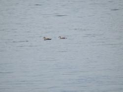 野尻湖に居た野鳥です。