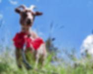 Goat on Laft Hus Roof_IMG_2218.jpg