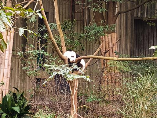 Kom med til pandaernes Chengdu