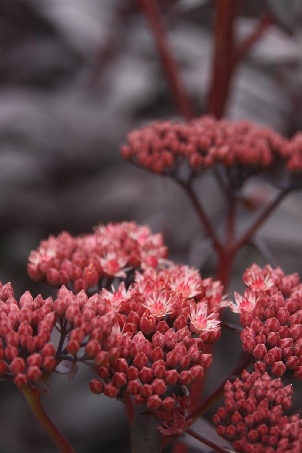 sedum flower purple emperor pink blooms red leaves